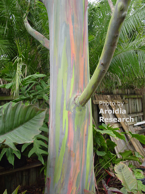 Rainbow Eucalyptus mystical trunk