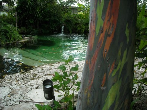 Rainbow Eucalyptus near pool