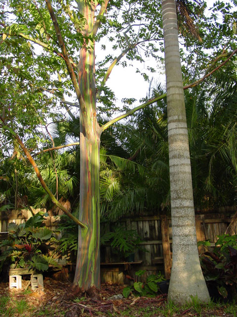 Rainbow Eucalyptus view one