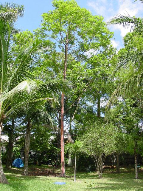 Rainbow Eucalyptus (Eucalyptus deglupta) trees for retail sale